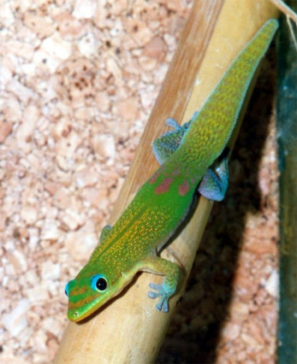 The gold dust gecko is very colourful and relatively easy to keep making it a very popular pet.