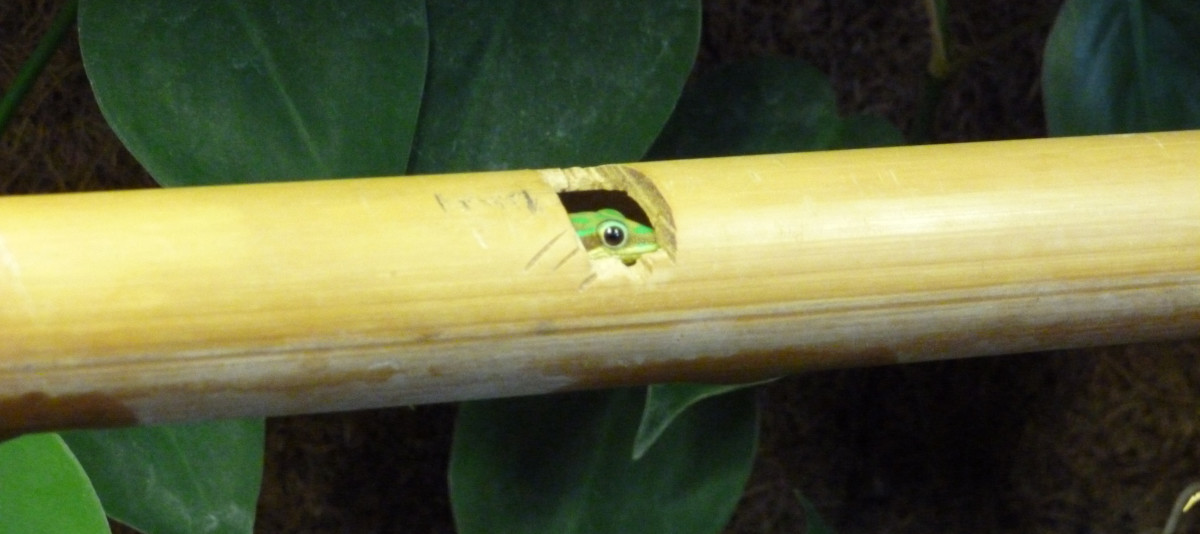 "A cepediana peering warily out of its ""window"" in a bamboo tube"