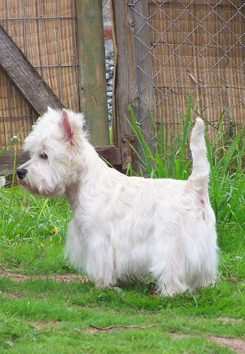 Westies need to be groomed.