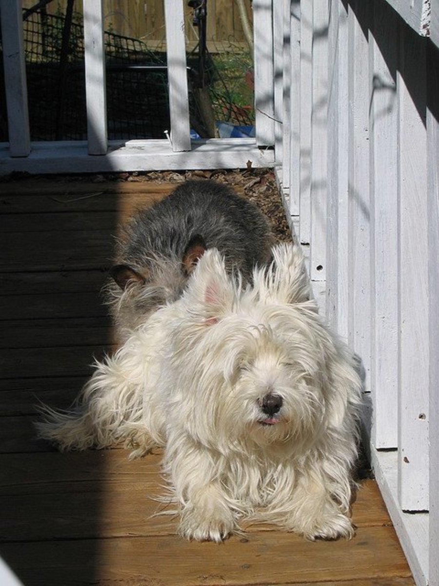 Since Westies do not shed much, their coats can get quite long.