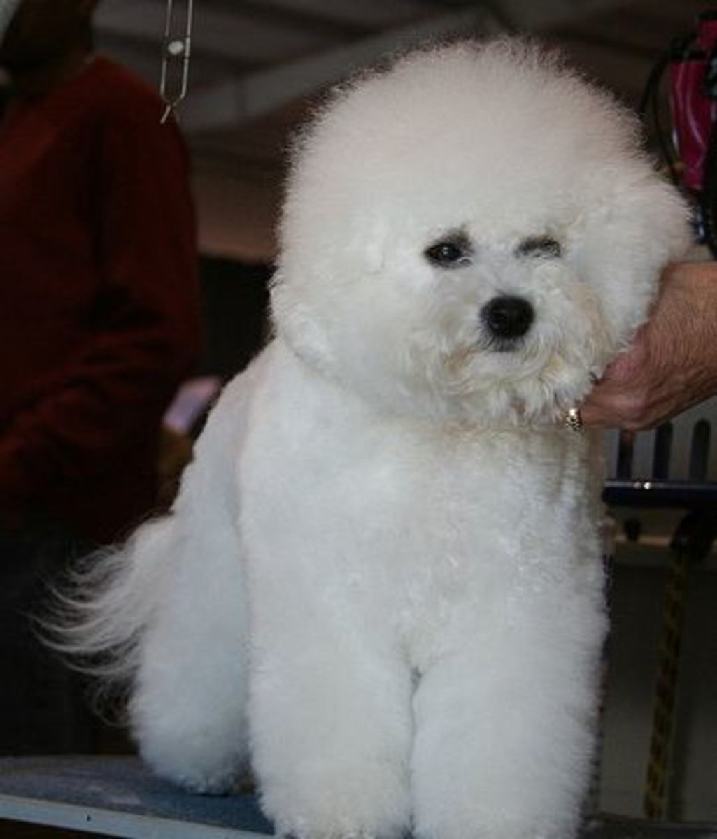 Like all dogs that don't shed, Bichon need to be groomed.
