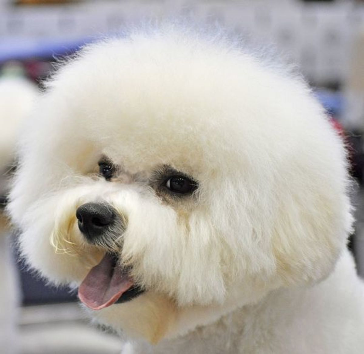 Bichon Frisé usually look happy.
