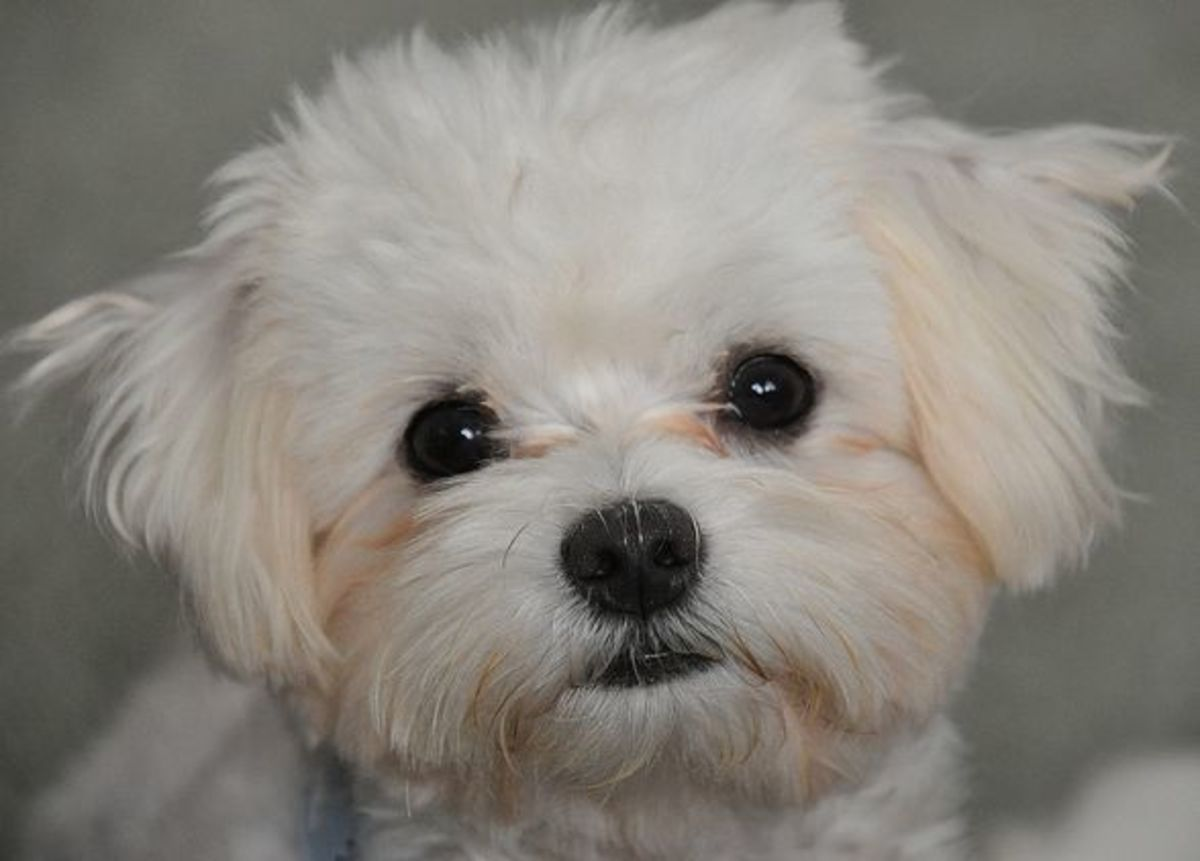 Many owners keep their Maltese clipped short to reduce tangling and daily combing.