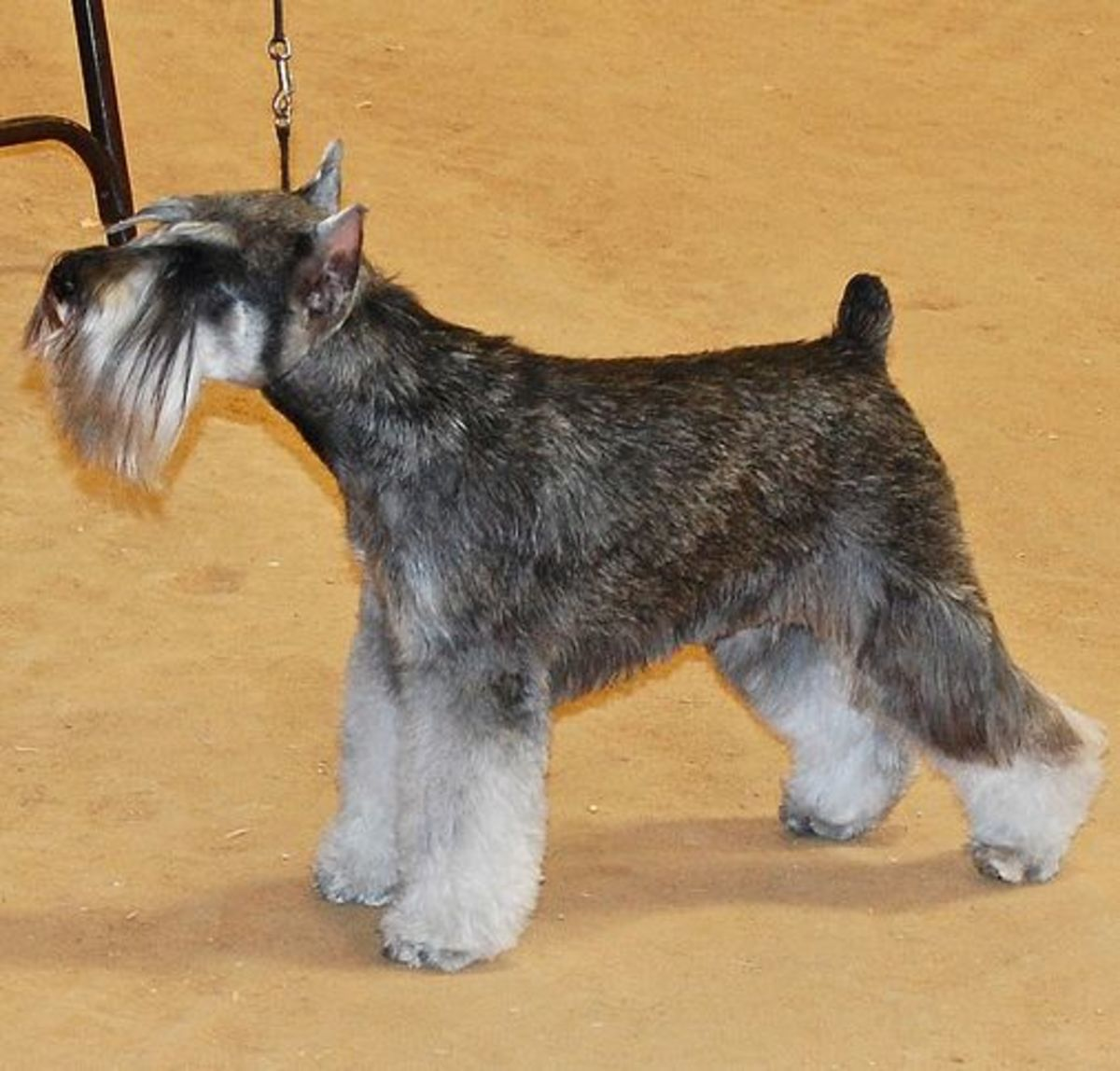 When Miniature Schnauzers are groomed, they are an impressive looking small dog.