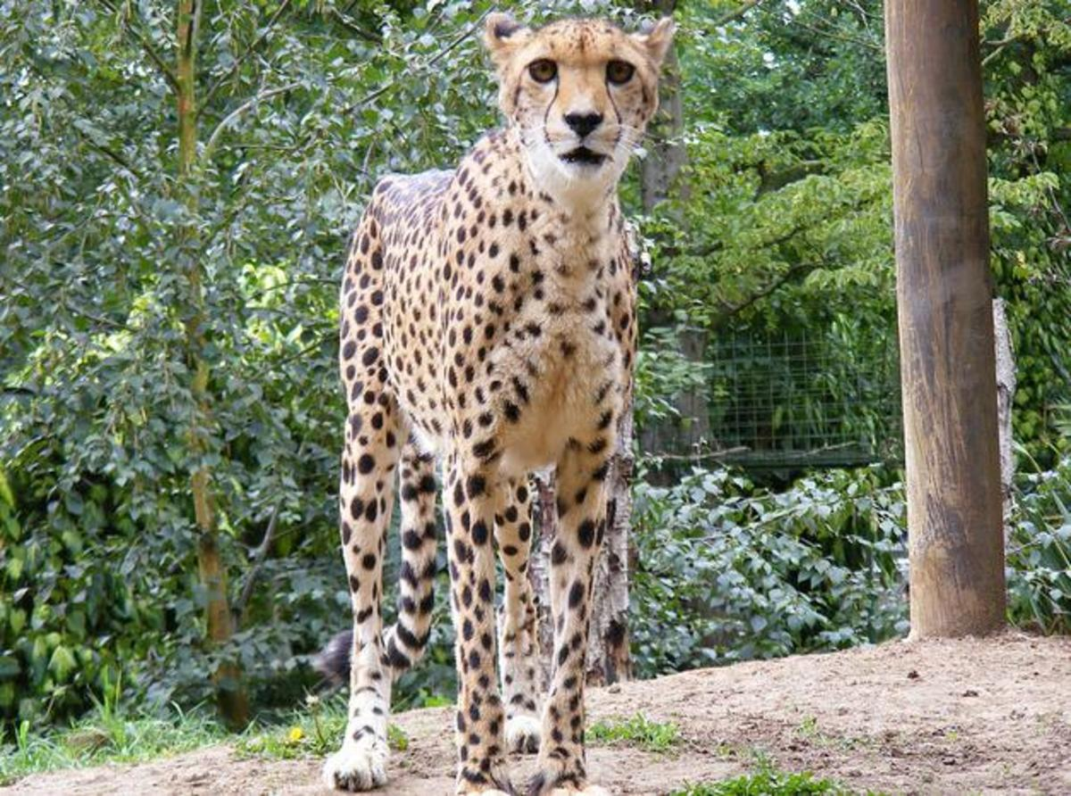 South African cheetah.