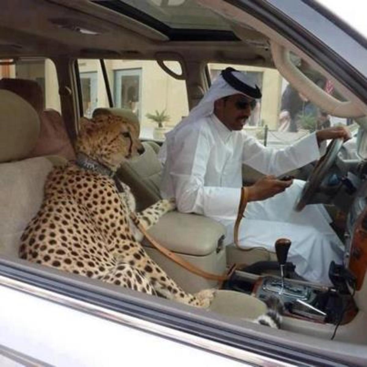 Cheetahs are status symbols for the wealthy because they are expensive and often illegal to obtain.