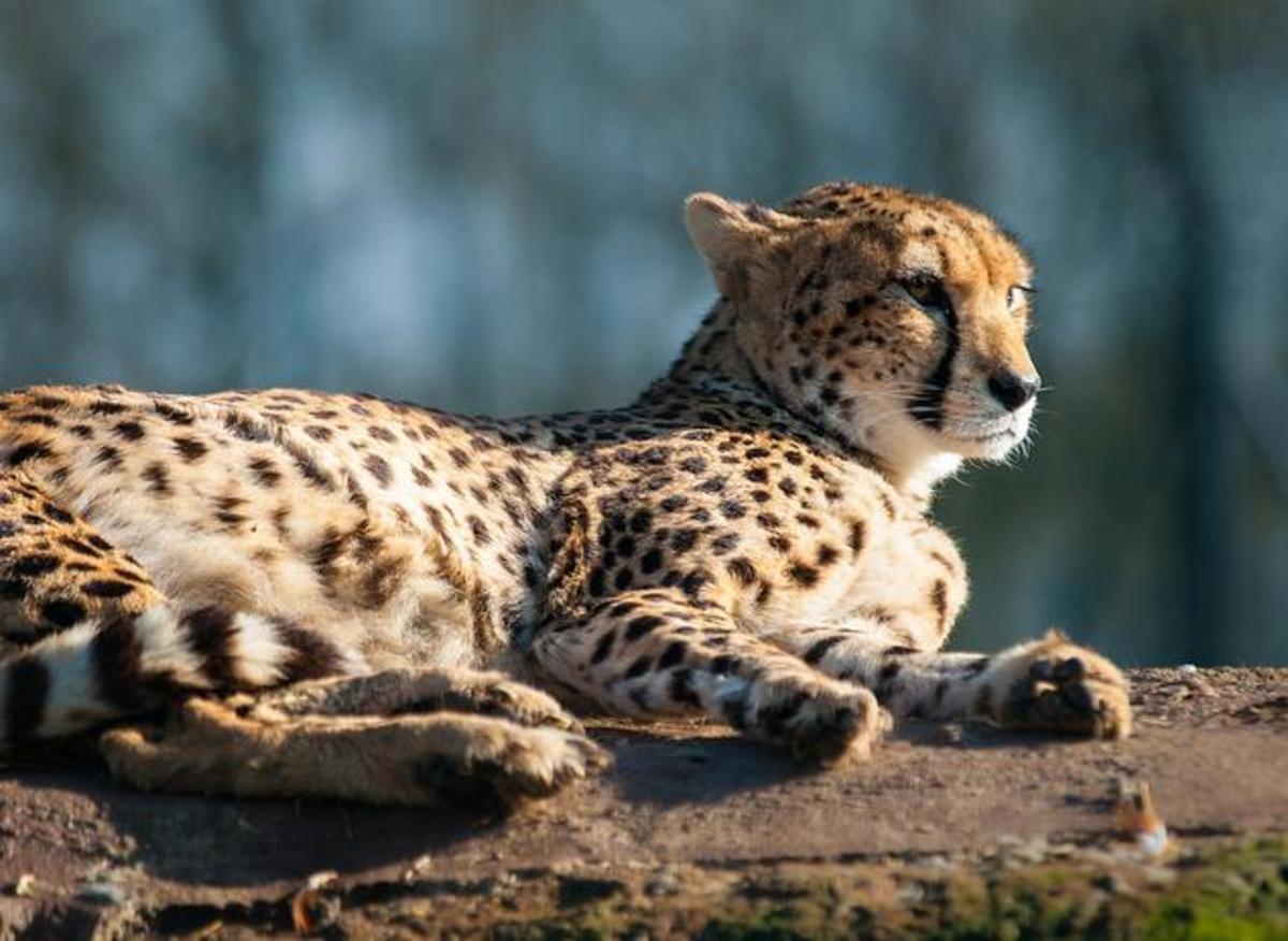 about-pet-cheetahs