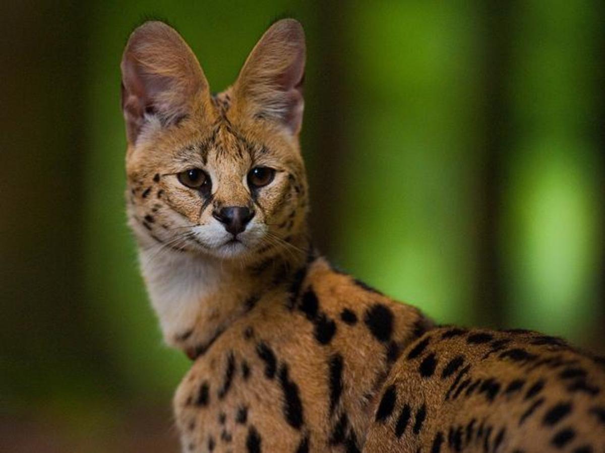 An African serval.