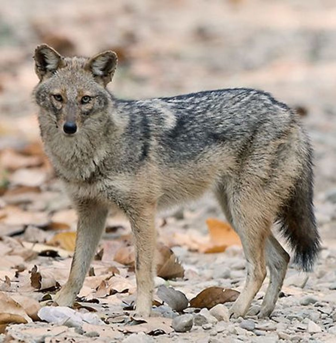A Golden Jackal, one of the breeds used to develop the Sulimov dog.