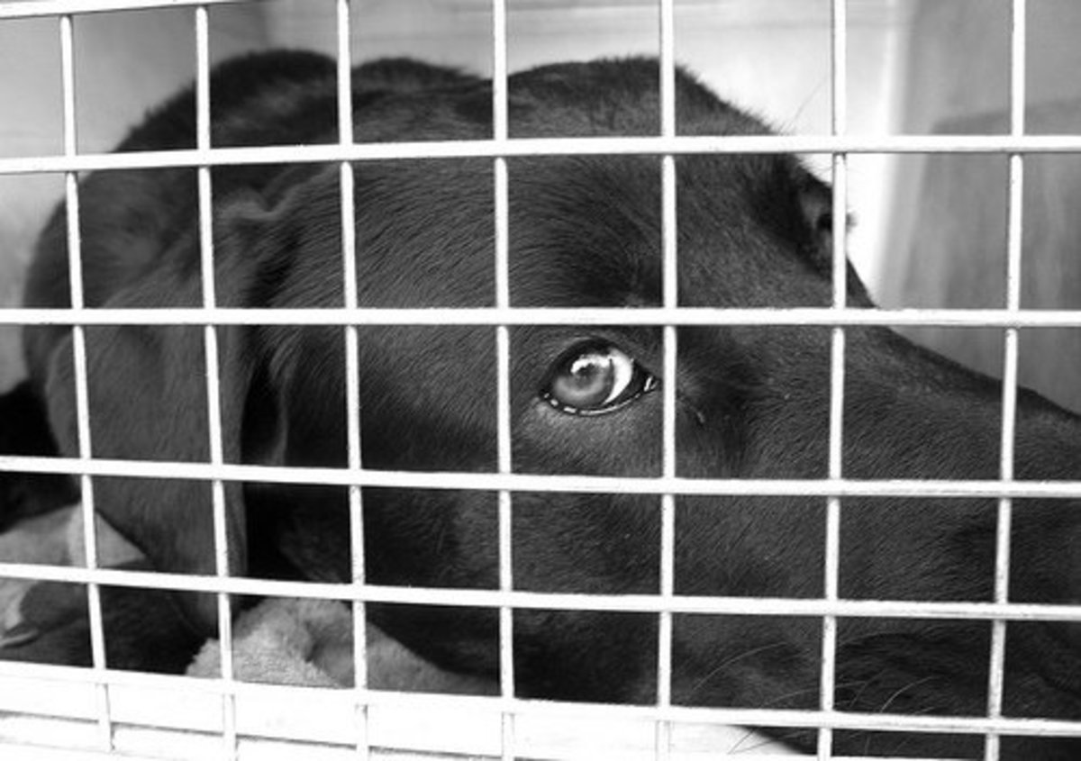 Dogs spending lots of time in crates tend to demonstrate destructive behaviors.