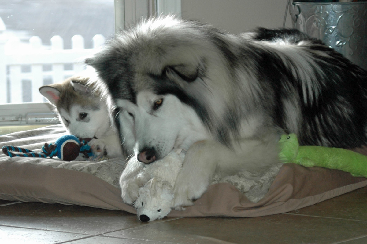 Give dogs of any age appropriate toys to chew.