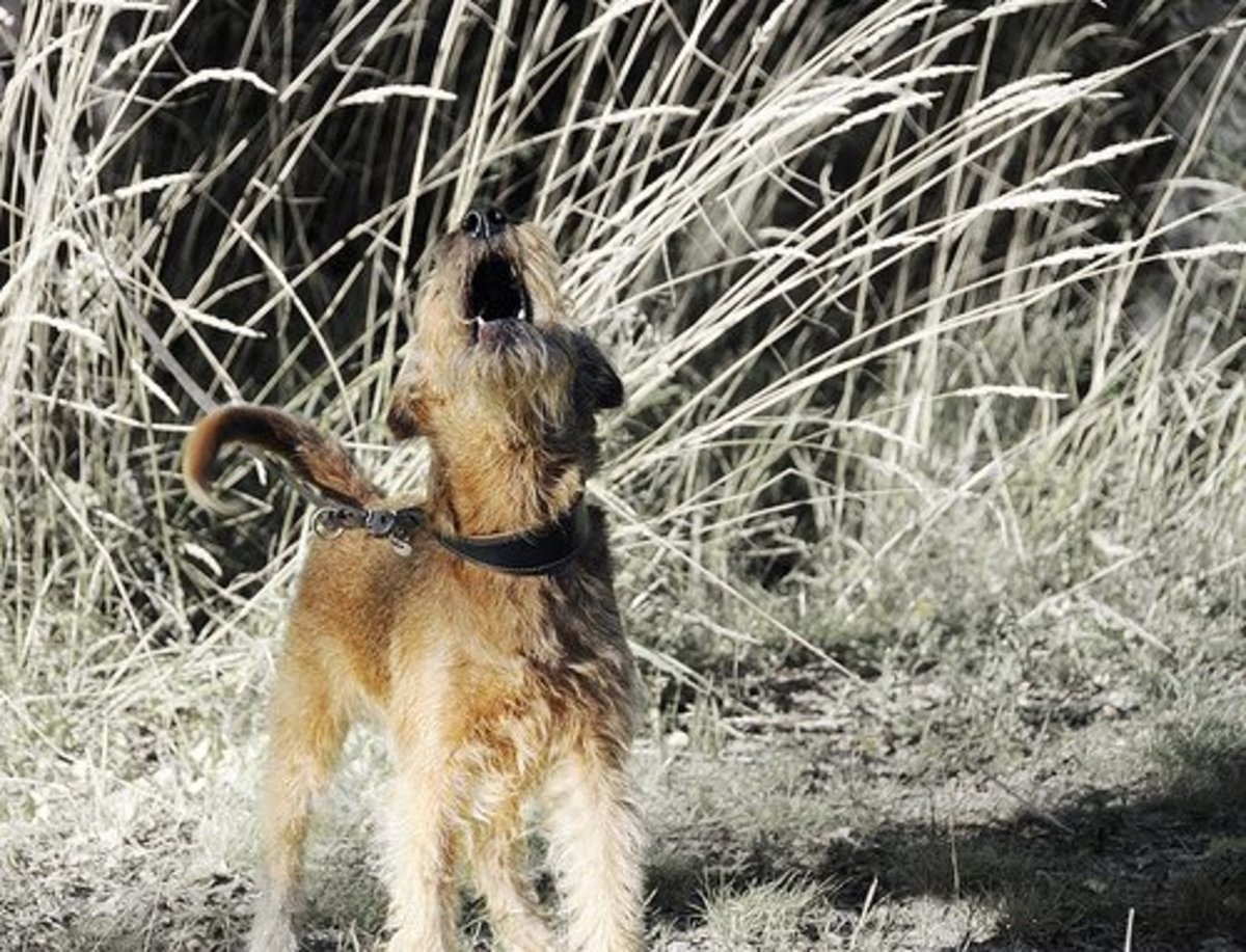 Barking and howling are considered destructive behaviors especially when done repetitively or without apparent reason.