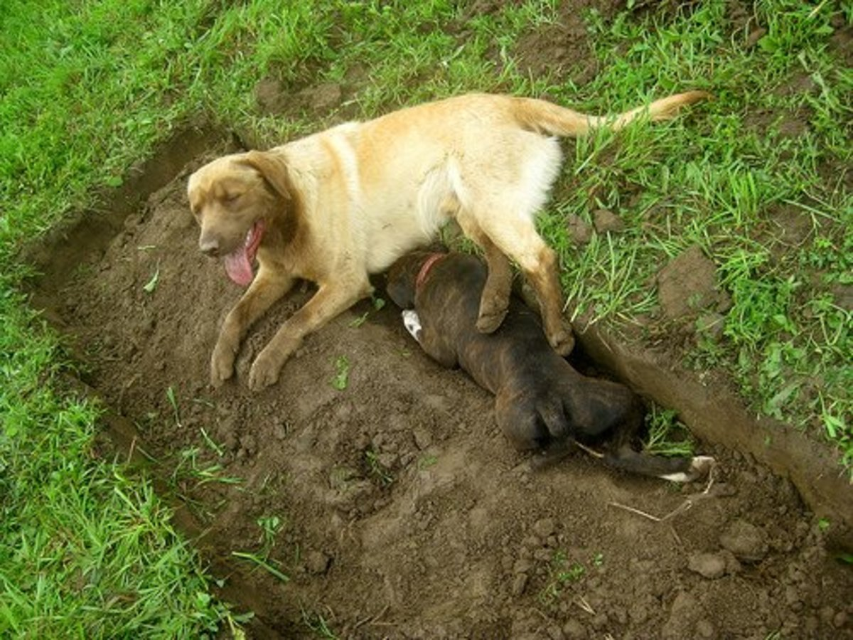 If your dog is digging just to stay cool, it's not destructive behavior--it's common sense.