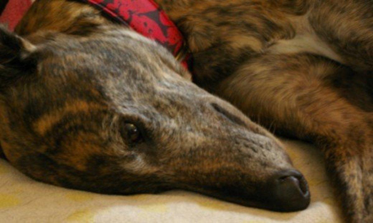 Greyhound close-up © Flycatcher