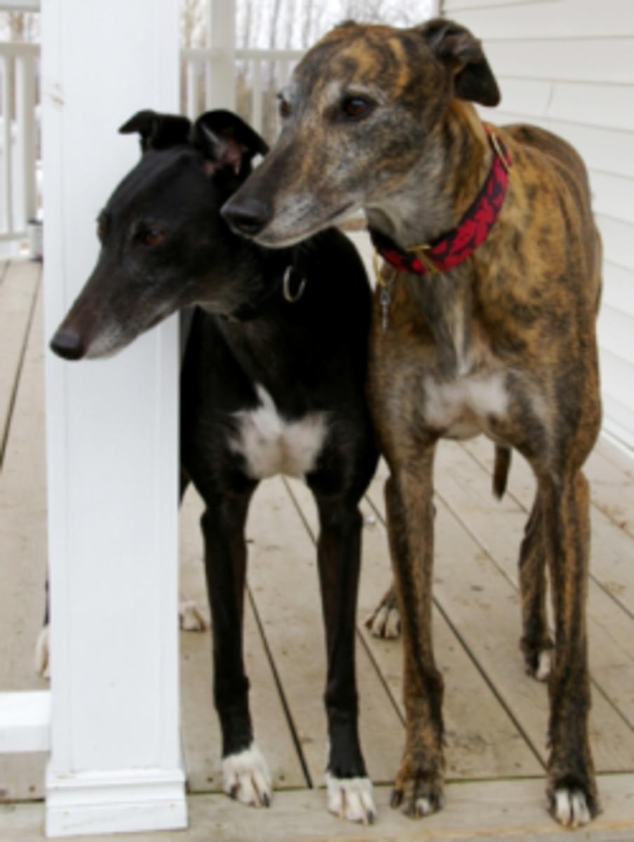 two greyhounds © Flycatcher