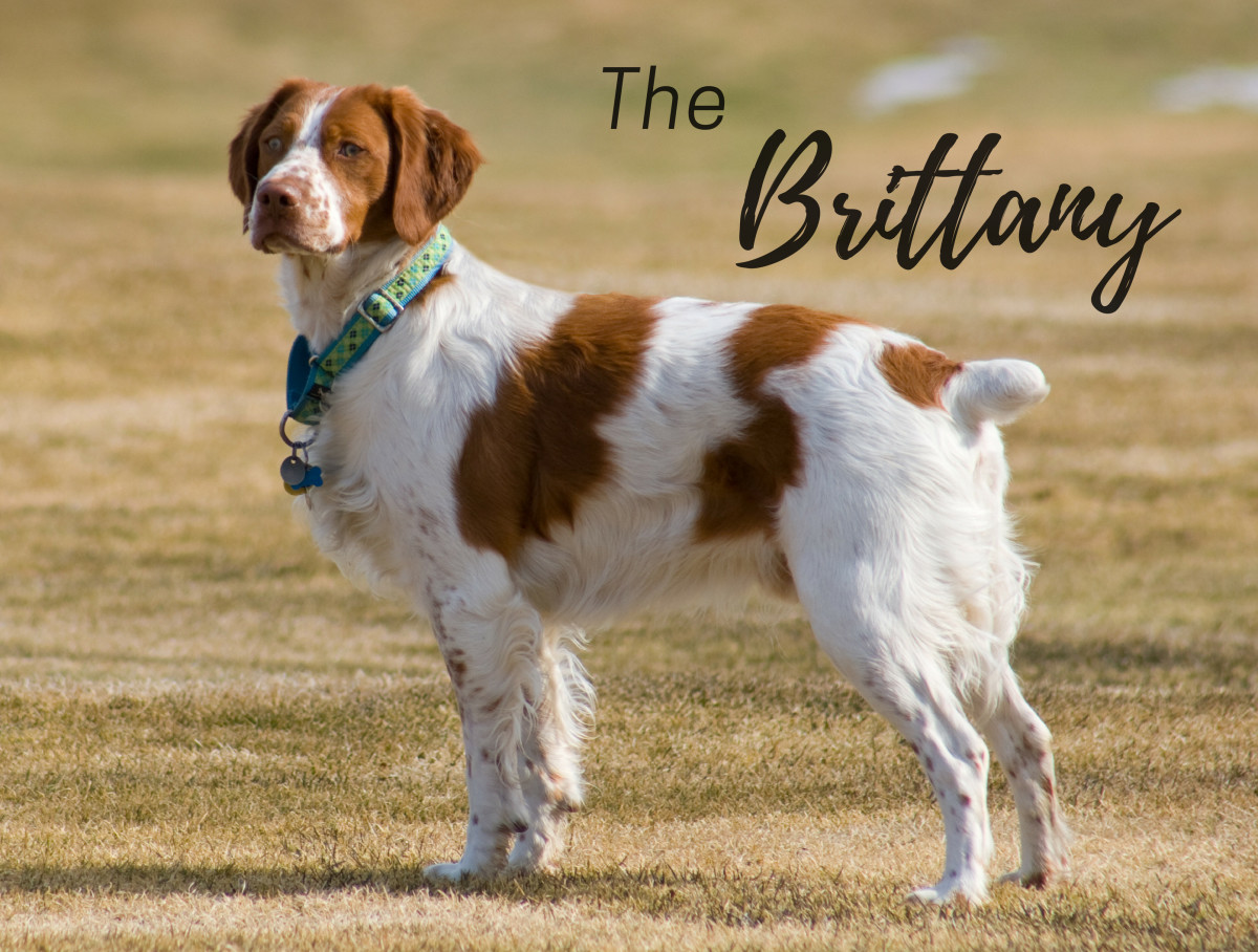 The Brittany is a multi-purpose dog.