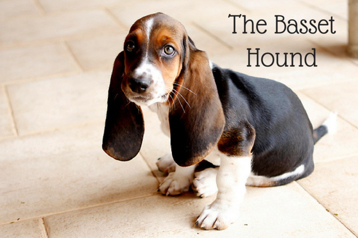 Basset Hounds will run off if following a good scent.