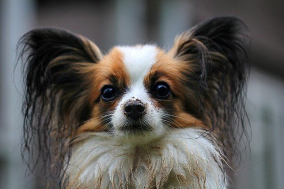 Papillons are inquisitive dogs.