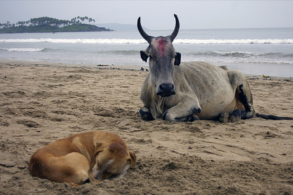 Goa, India; a cow can rest with a feral dog, but not with a wolf.