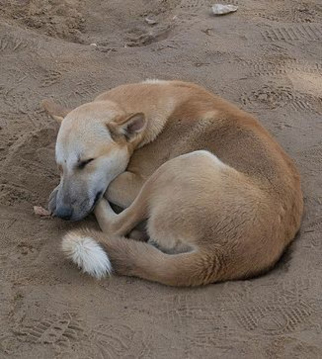 A feral dog in Egypt is not a wolf.