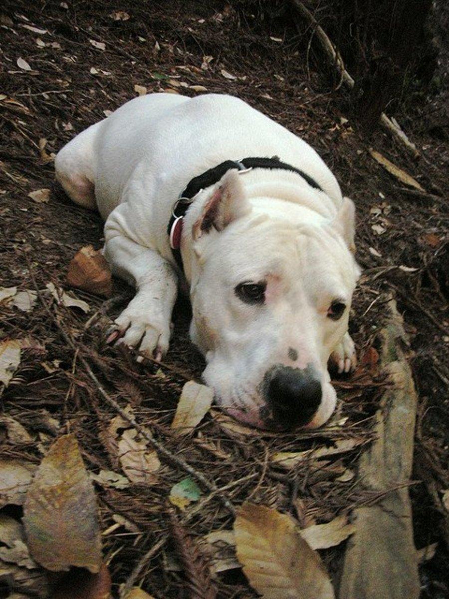 A Dogo Argentino.