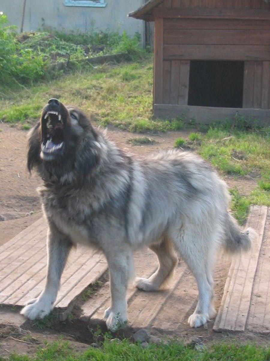 A Caucasian Ovcharka looks like a gaurd.