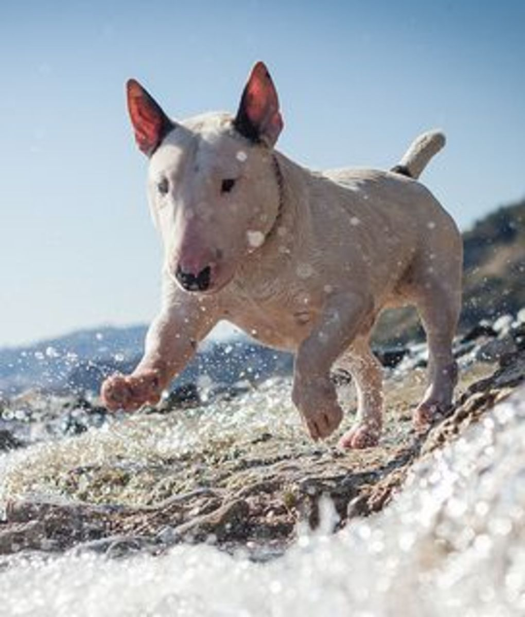 The Bull Terrier is one of the smallest of the large dogs that do not bark much.