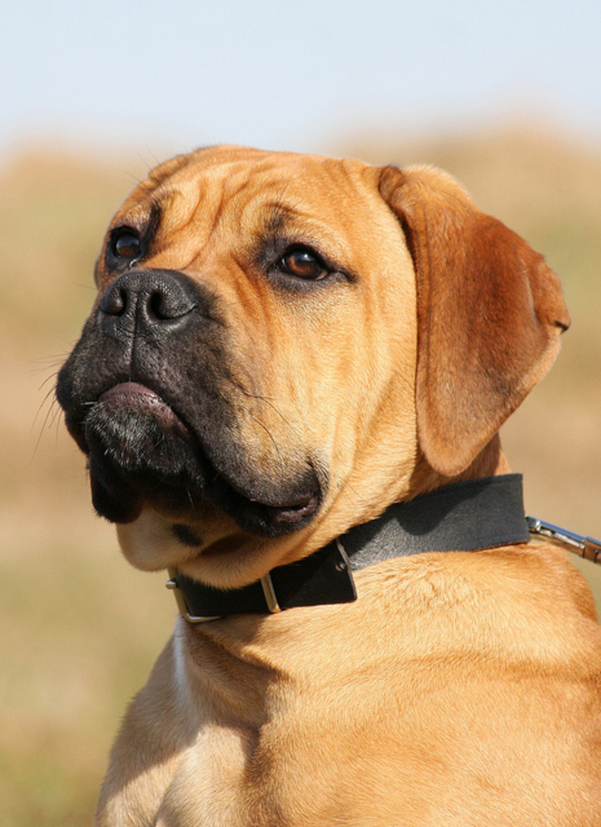 A Bullmastiff puppy, one of the dog breeds that does not bark much.