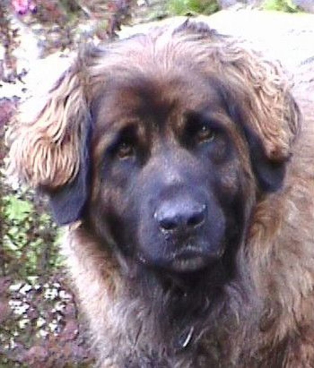The Leonberger is one of the few giant dogs that does not drool much.
