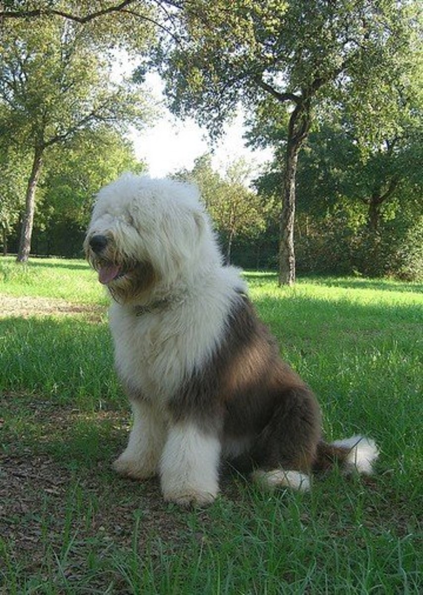 Old English Sheepdogs may be messy drinkers but they don't drool much.