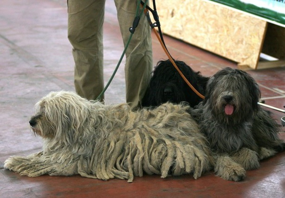 A group of Bergamascos, an Italian herding dog with a thick matted coat.