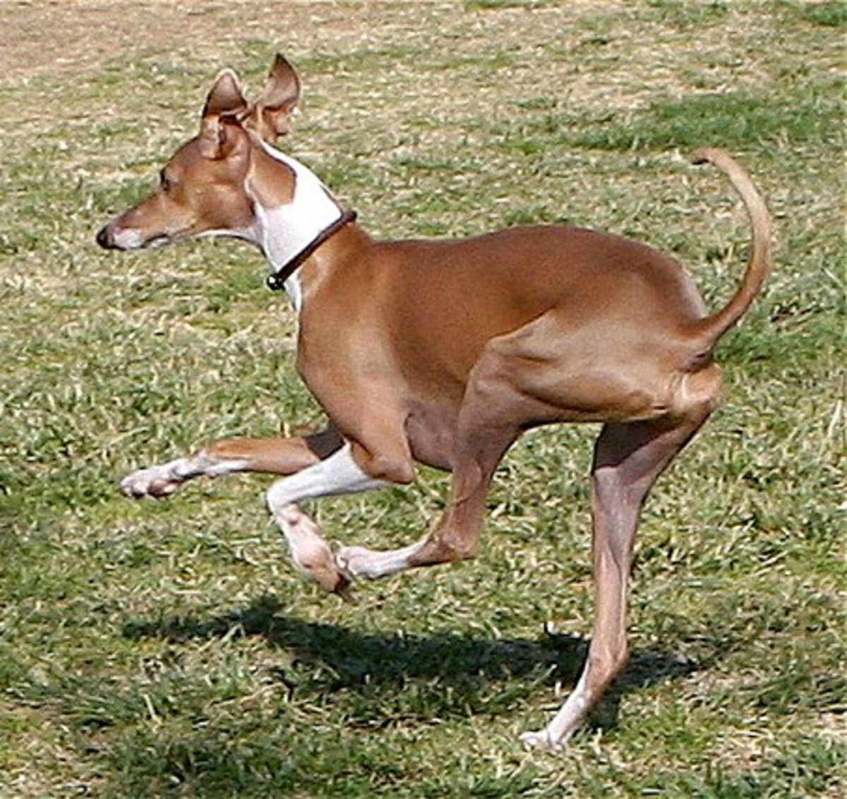 The Italian Greyhound is claimed by Greece, Turkey, and Egypt, but they are one of the five best dog breeds from Italy.