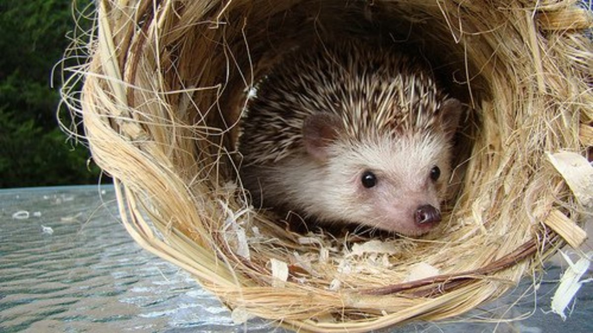 Hedgehog in a Hay Bale