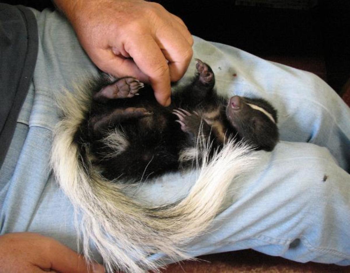 Pet skunk getting a tickle.