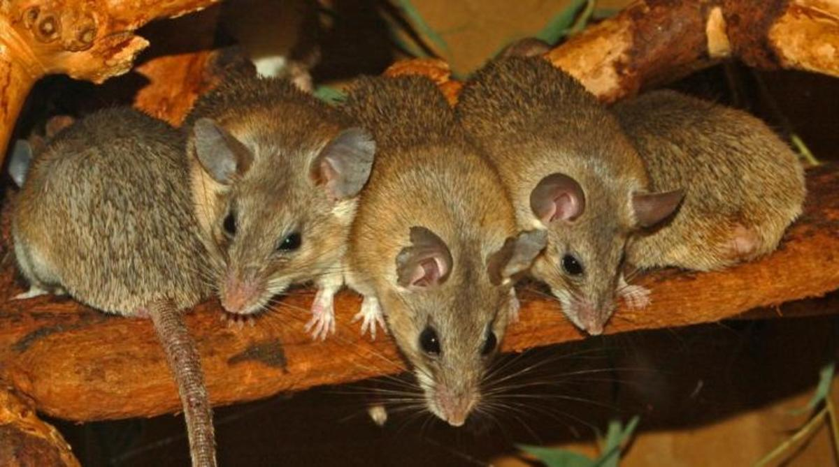 Turkish spiny mice.