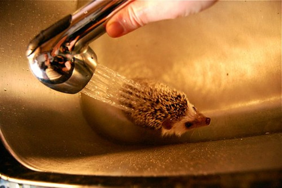Pet hedgehog getting a bath.