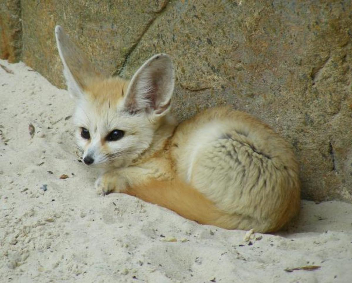 Fennec fox on sand.