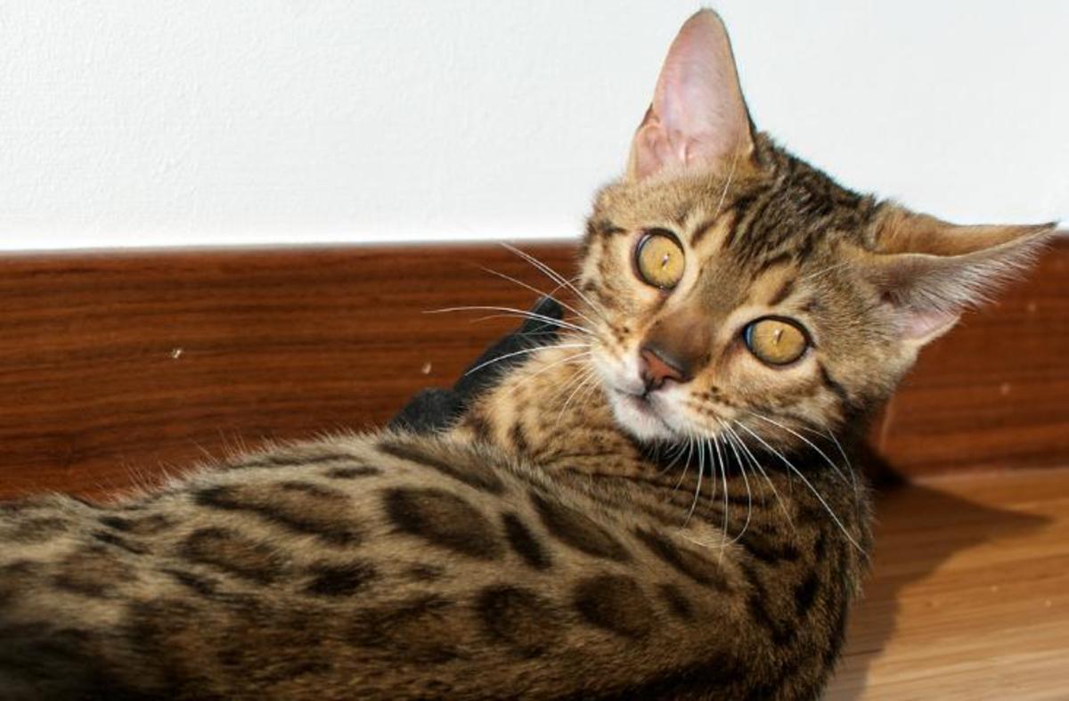 Bengal cat peers at camera.