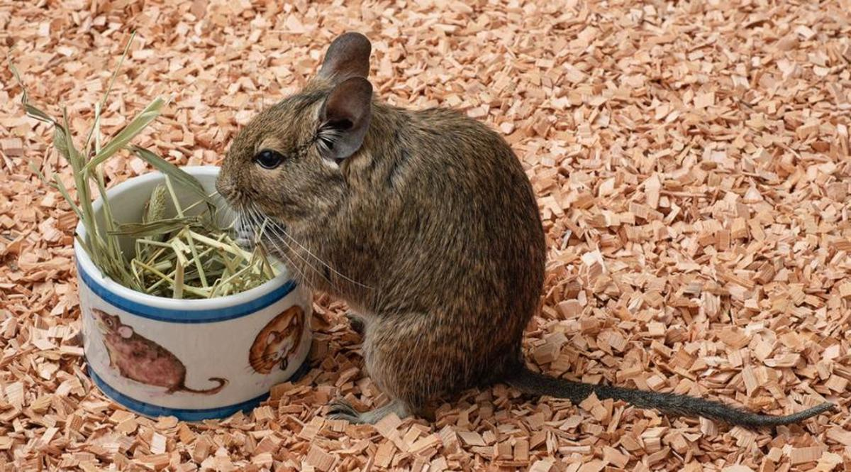 Degu eating dried grass.