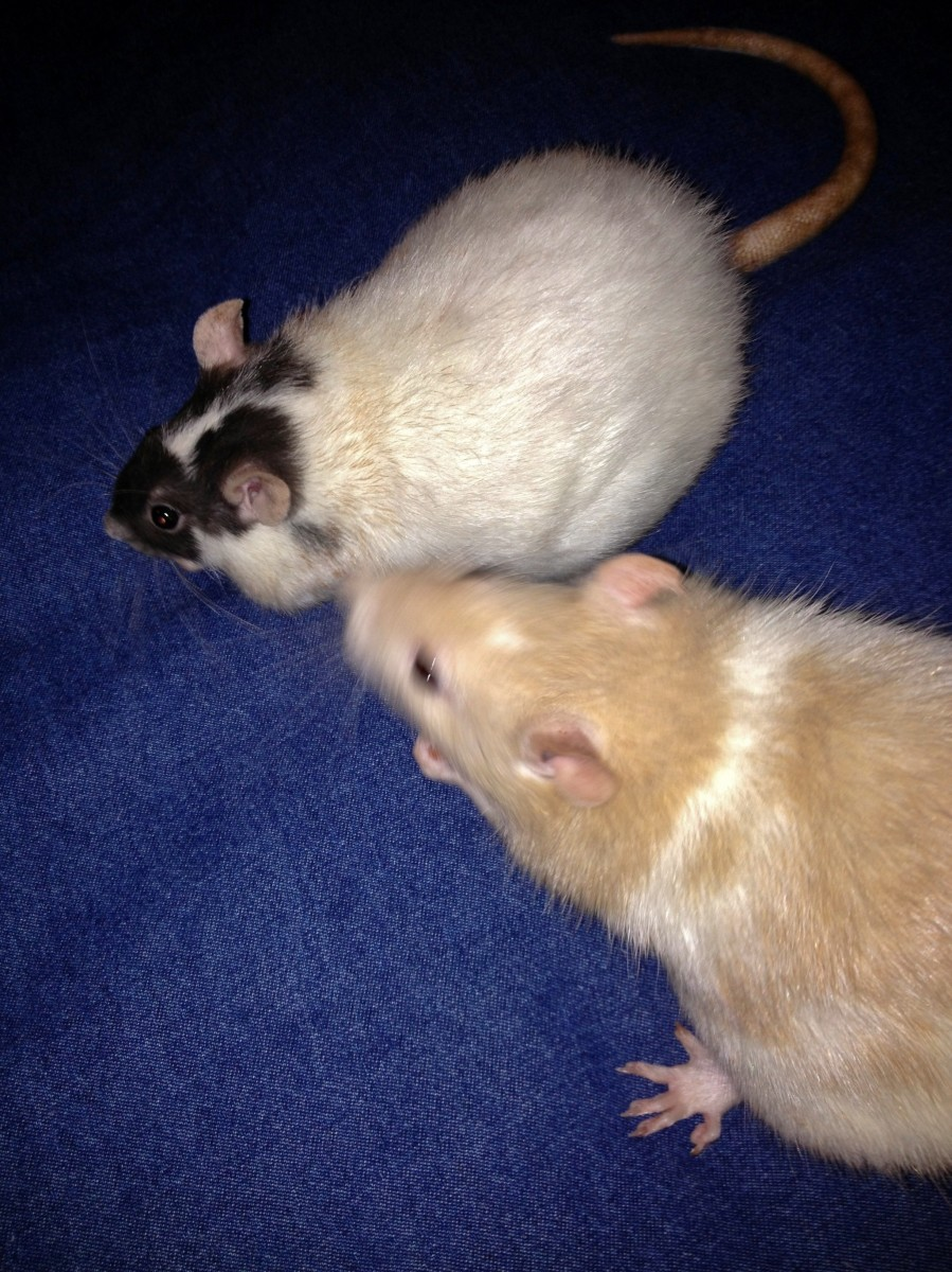 Treats are a great distraction and reward for rats that are getting their nails trimmed!