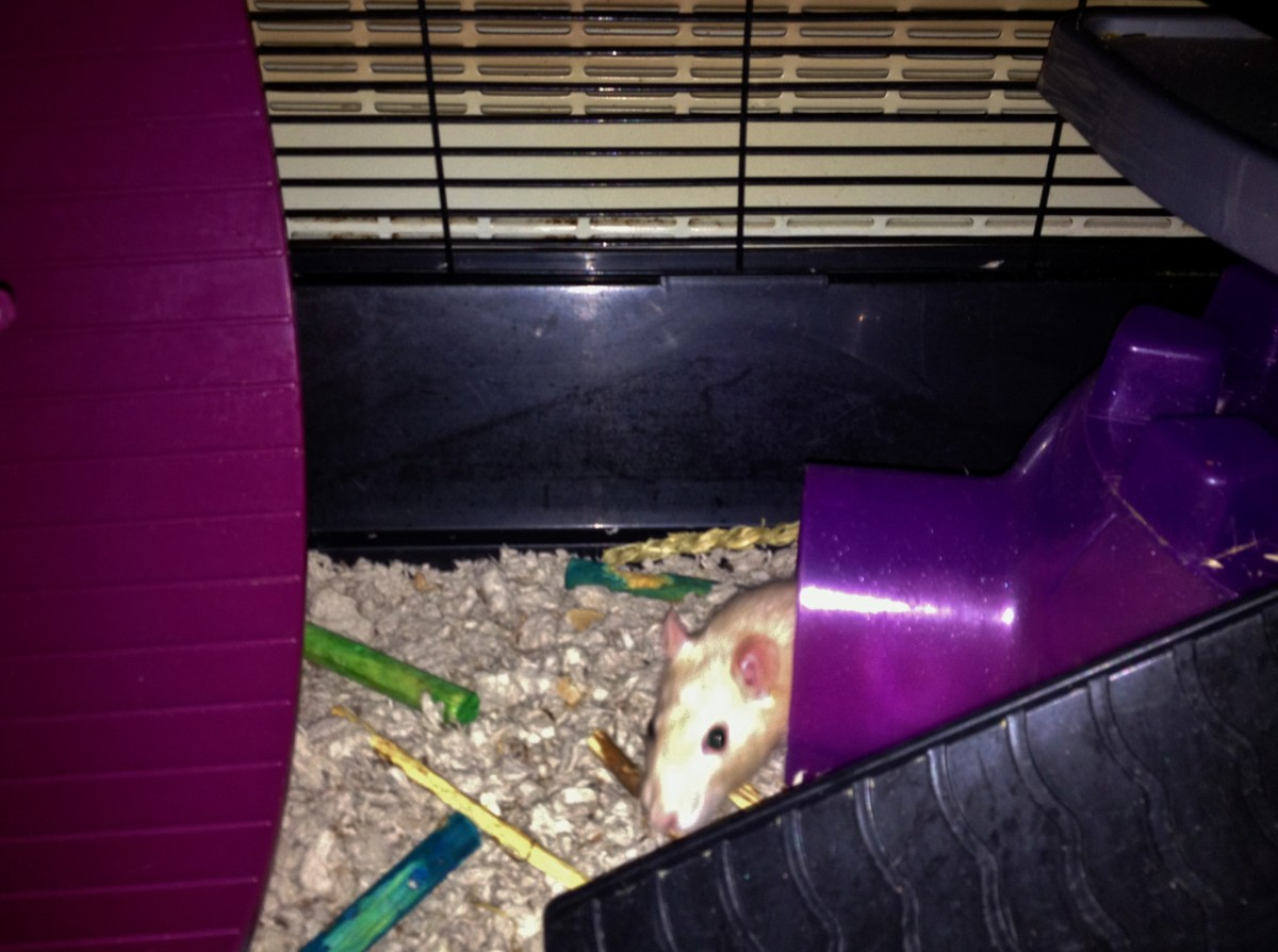 A sleepy rat is much easier to handle than an awake and energetic rat!