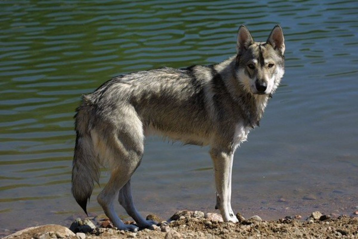 The Tamaskan, a dog breed developed to look like a wolf.