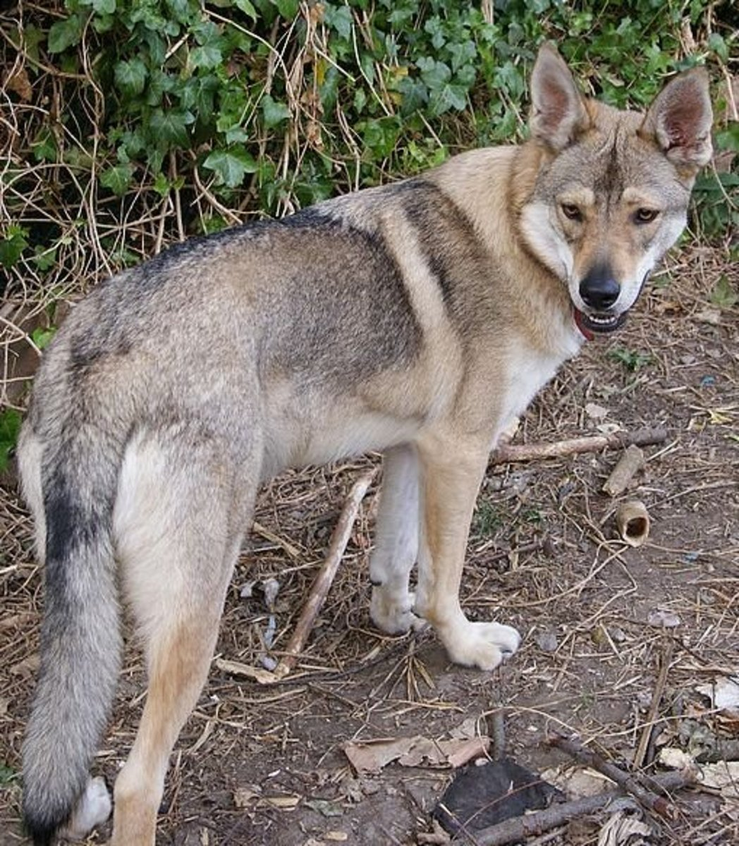 The Northern Inuit, a breed of dog but meant to look like a wolf.