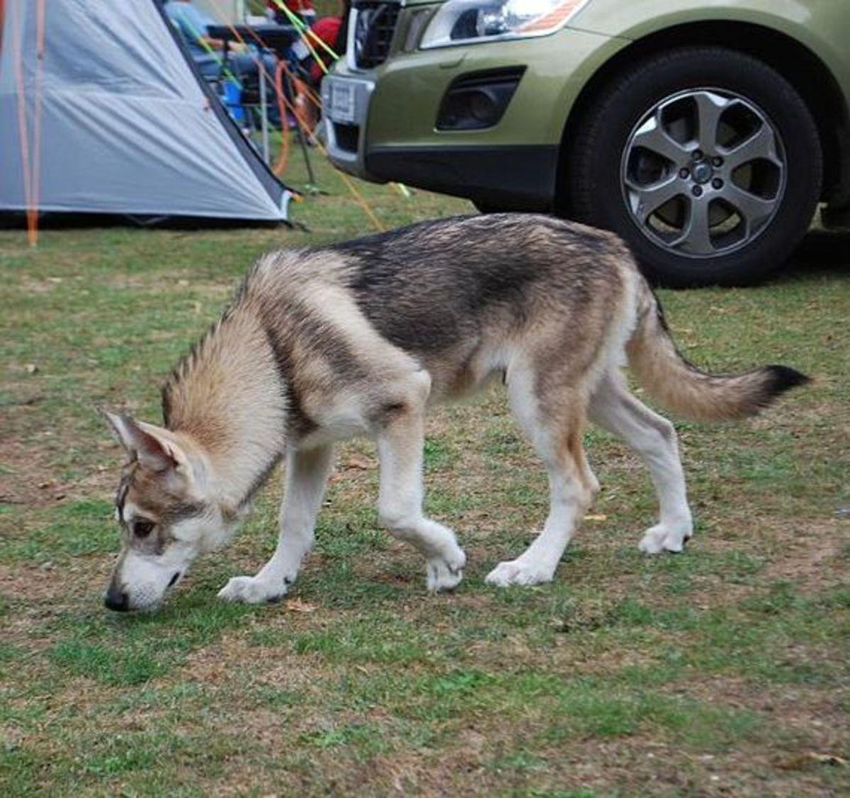 A Utonagan dog looks similar to a wolf.