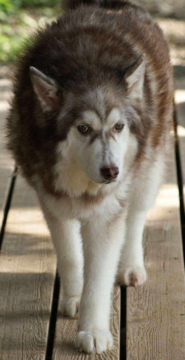 An adult Alaskan malamute, one of the dog breeds that looks like a wolf.