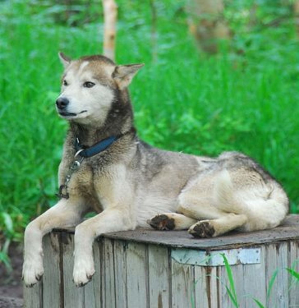 Some Siberian huskies look more like wolves than others.