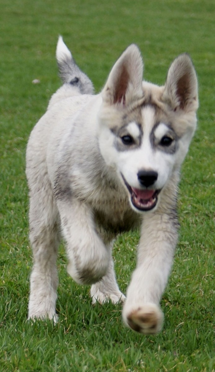 Cute White Siberian Husky Puppies With Blue Eyes
