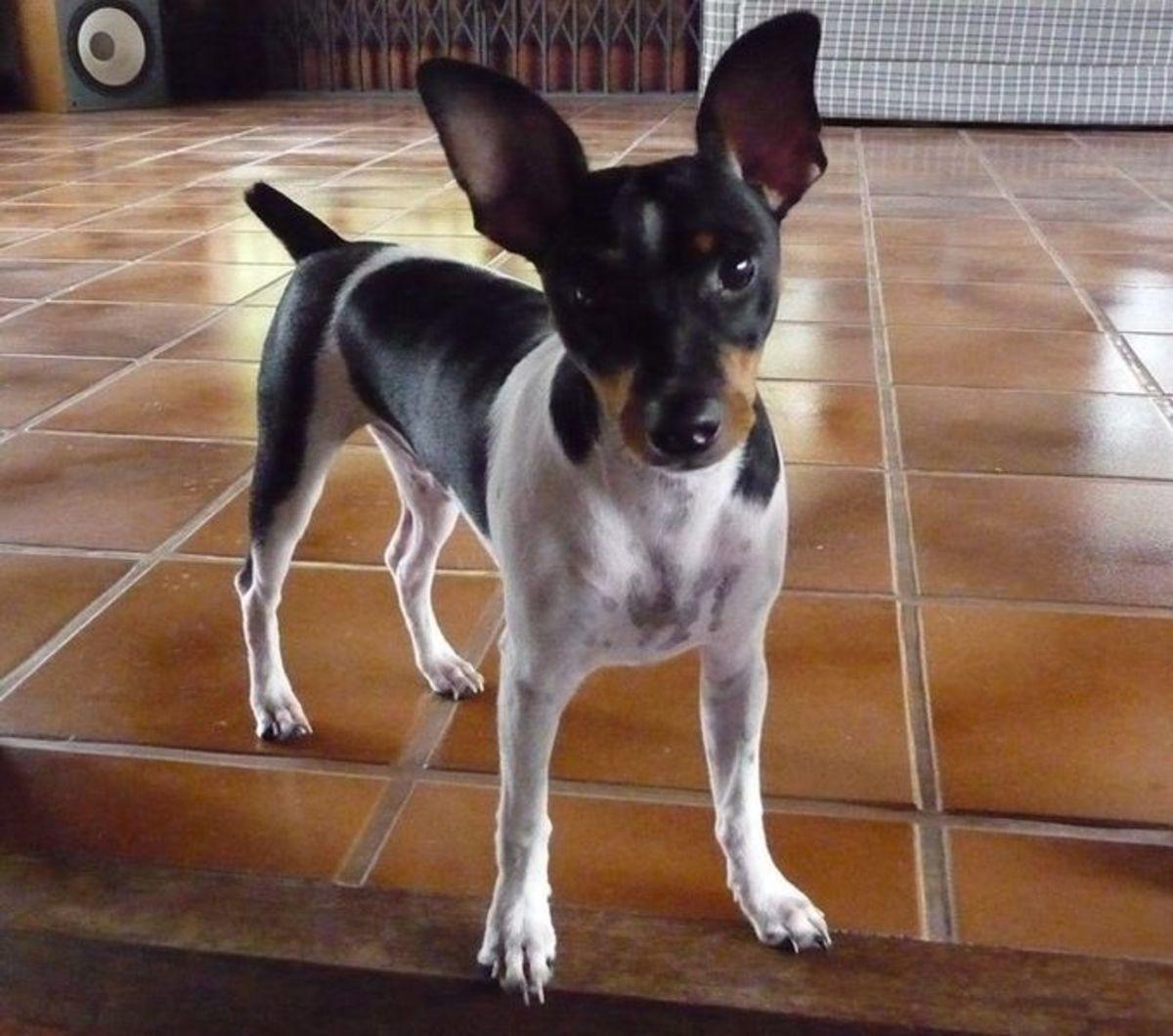A Brazilian Terrier.