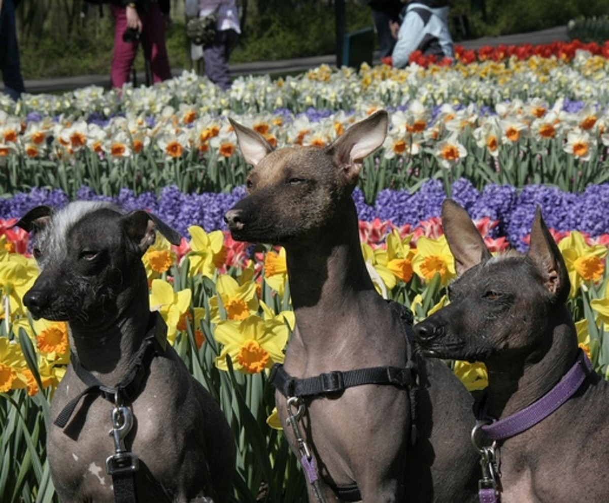 The Peruvian Hairless Dog.