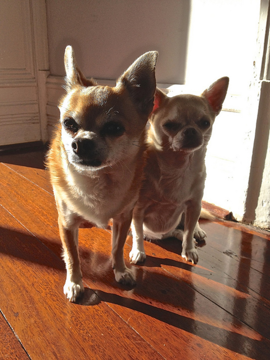 Chihuahuas are not always good with other dogs but they do seem to like each other.